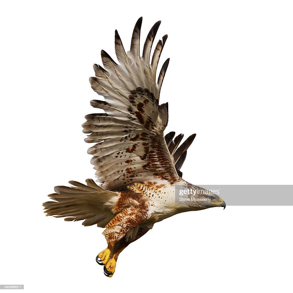 Hawk in flight. : Stock Photo