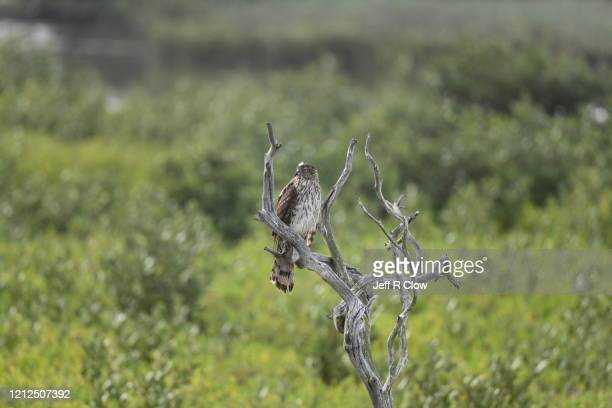hawk in texas - south padre island stock pictures, royalty-free photos & images
