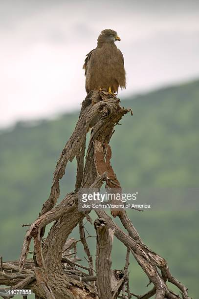 Hawk in tree in Umfolozi Game Reserve South Africa established in 1897