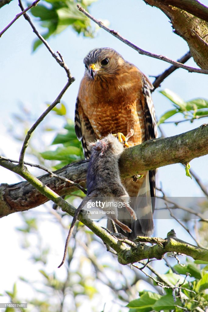 A Hawk is Perched in a Tree Holding a Rodent That He Has Caught. : Foto de stock