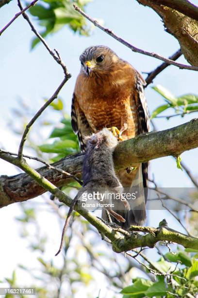 A Hawk is Perched in a Tree Holding a Rodent That He Has Caught.