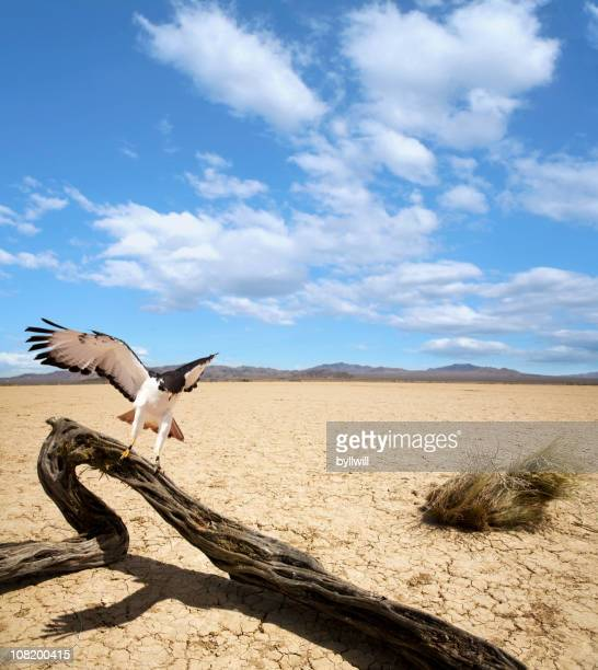 hawk landing on dead tree in middle of mojave desert - hawk bird stock photos and pictures