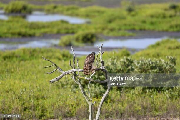 hawk perched in texas - south padre island stock pictures, royalty-free photos & images