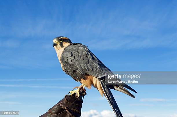 Hawk Perching On Hand Of Person Wearing Protective Glove Against Sky