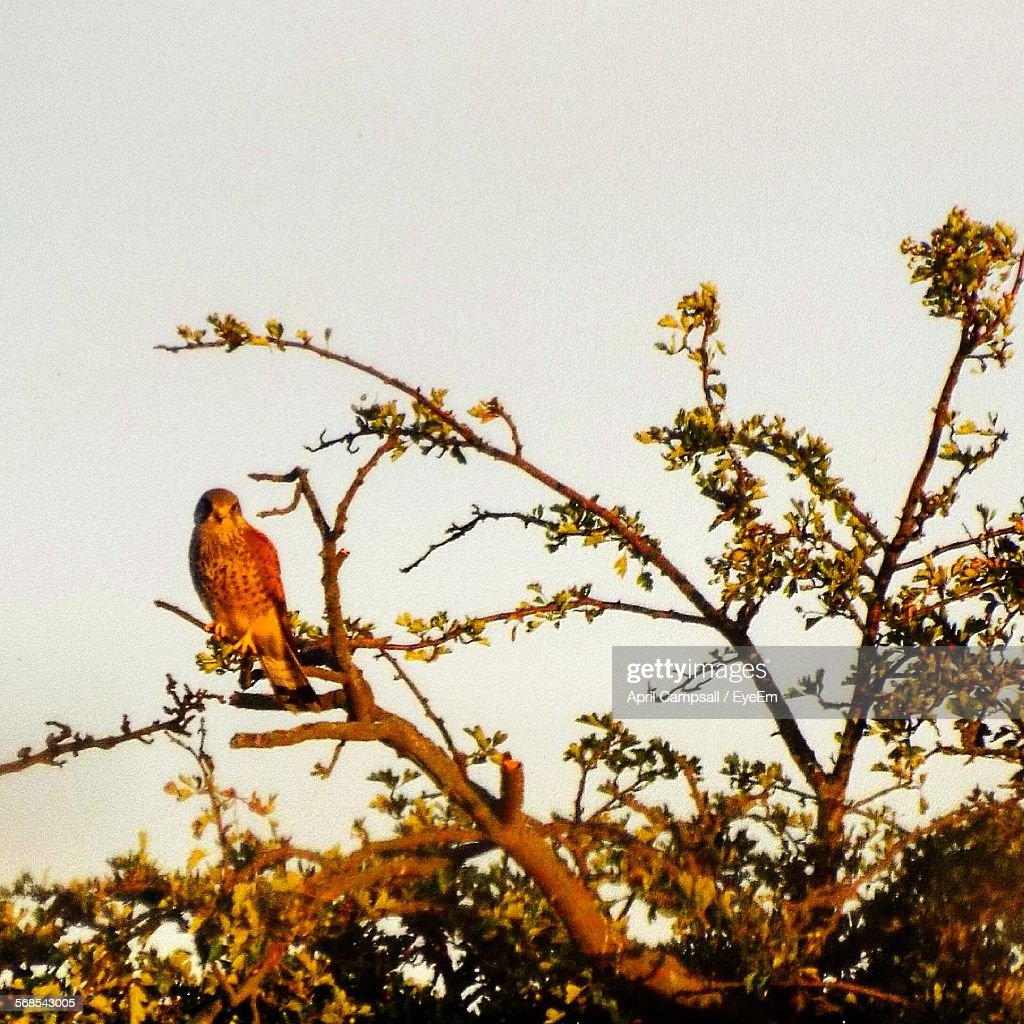 Hawk Perching On Tree Against Clear Sky : Stock Photo