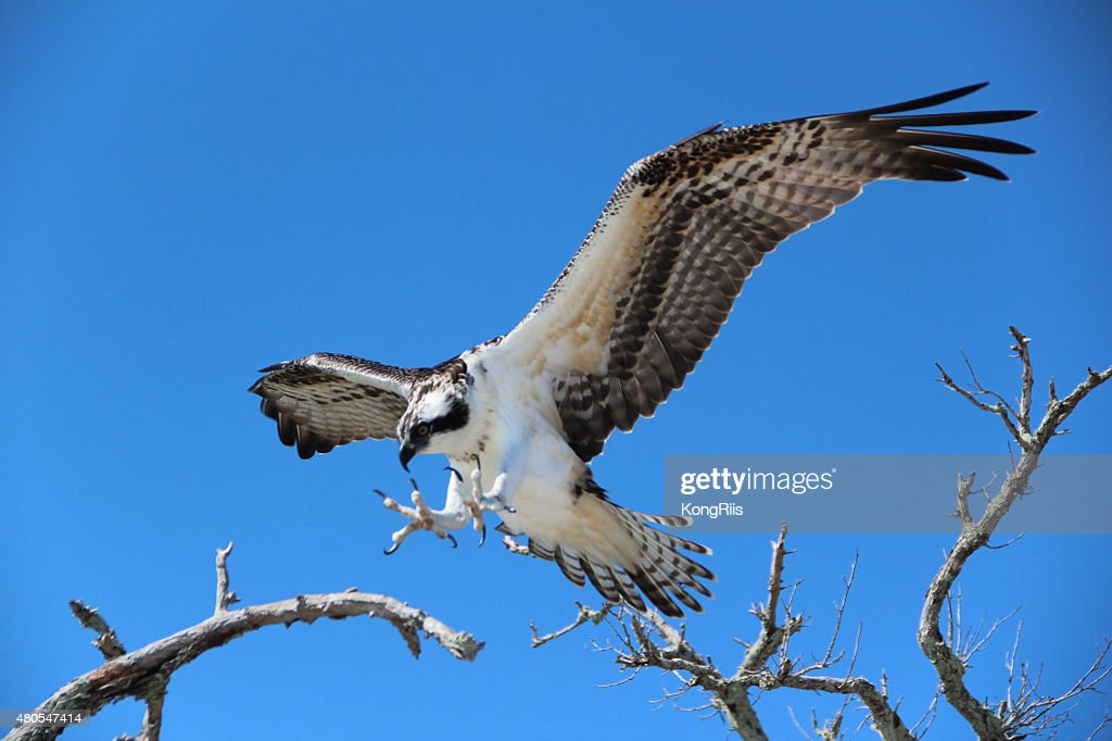 Hawk : Stock Photo