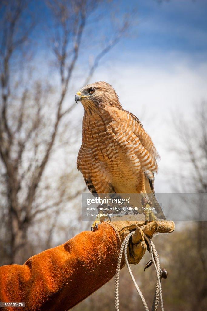 Hawk : Stock Photo