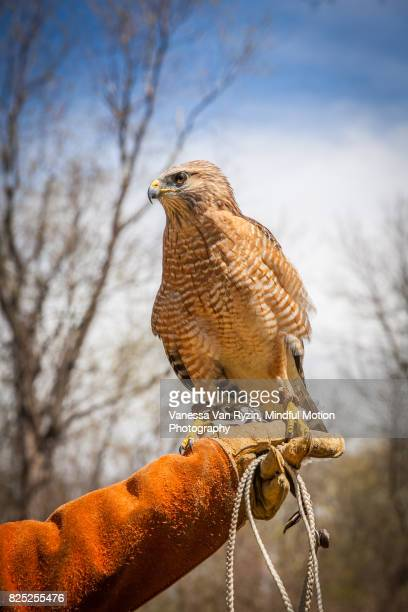 hawk - vanessa van ryzin stock photos and pictures