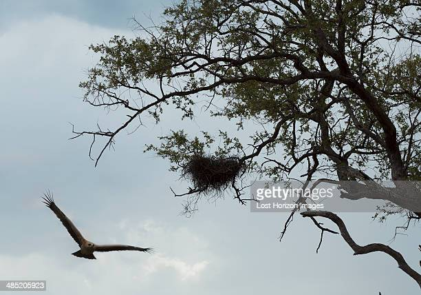 hawk reaching nest - hawk nest stock photos and pictures