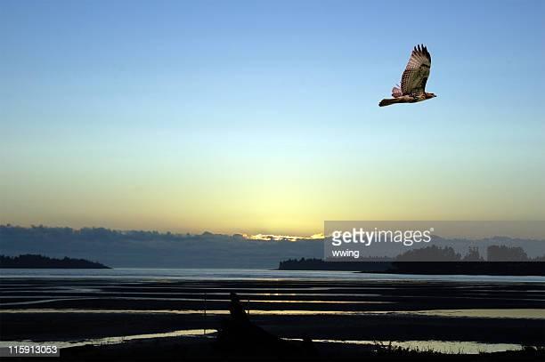 falcão escaldantes em sunrise - hawk imagens e fotografias de stock