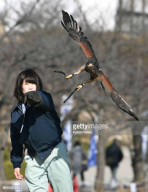 A hawk takes flight from a Himeji City Zoo keeper at a bird flight show at Himeji Castle in Himeji Hyogo Prefecture on Jan 13 2018 ==Kyodo