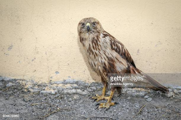 A hawk which were treated by Dr Lokman Aslan who is the pioneer of Wildlife Rehabilitation Centre is seen after its treatment in Turkey's Van...