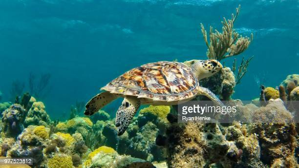 hawkbill sea turtle swimming, turks and caicos - turks and caicos islands stock pictures, royalty-free photos & images