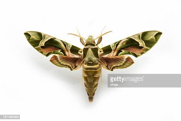 Hawkmoth...Deilephila nerii