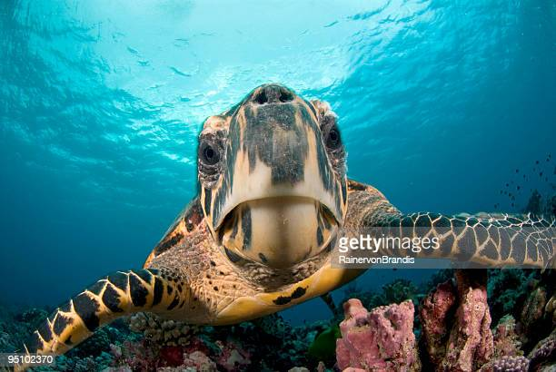 hawksbill close-up - snavel stockfoto's en -beelden