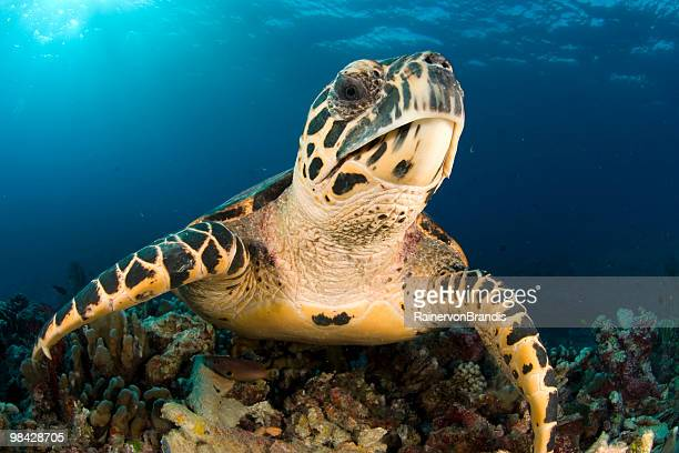 hawksbill portrait closeup - hawksbill turtle stock pictures, royalty-free photos & images