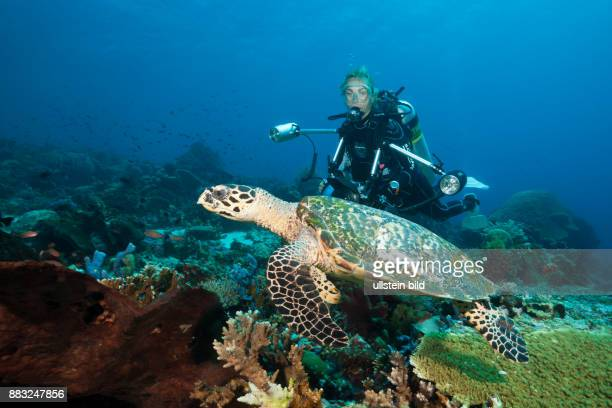 Hawksbill Sea Turtle and Scuba diver Eretmochelys imbricata Komodo National Park Indonesia