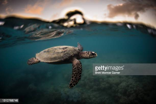 a hawksbill sea turtle at sunset - biodiversity stock pictures, royalty-free photos & images