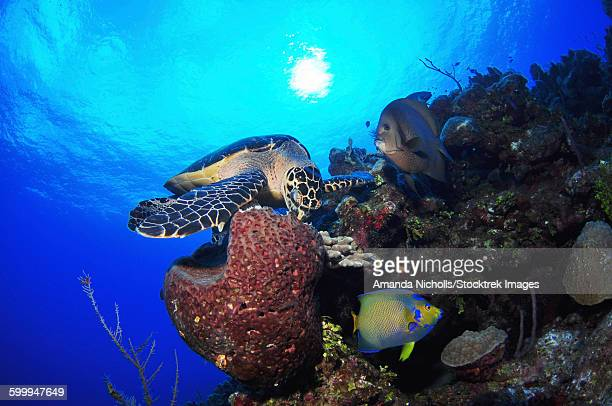 Hawksbill sea turtle eating, Castle Wall, Grand Cayman.