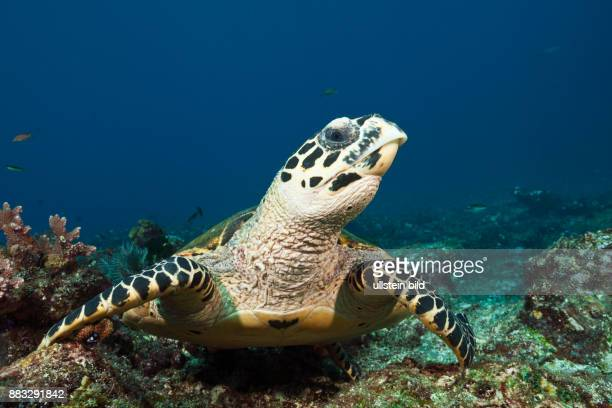 Hawksbill Sea Turtle Eretmochelys imbricata Komodo National Park Indonesia