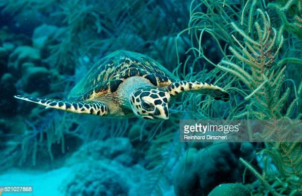 hawksbill sea turtle, eretmochelys imbricata, martinique, french west indies, caribbean sea - isla martinica fotografías e imágenes de stock