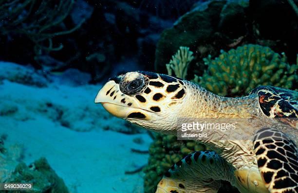 Hawksbill sea turtle Eretmochelys imbricata Netherlands Antilles Bonaire Caribbean Sea