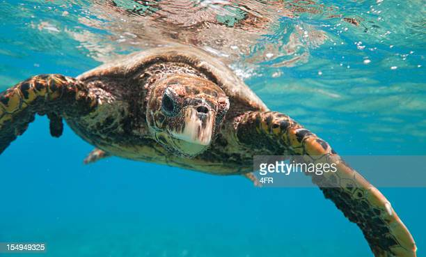 hawksbill sea turtle (eretmochelys imbricata) in wildlife (xxxl) - hawksbill turtle stock pictures, royalty-free photos & images