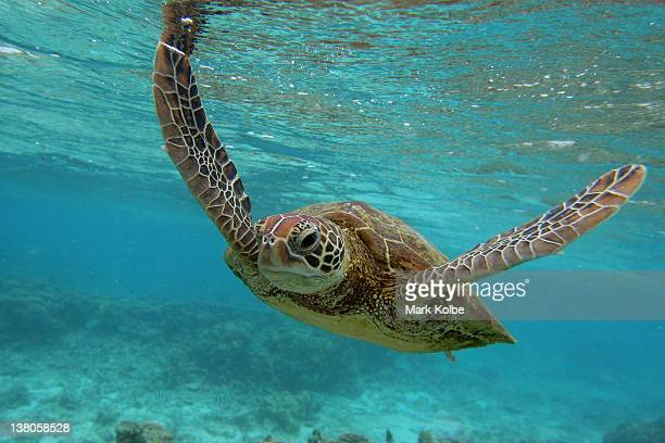 Hawksbill sea turtle is seen swimming on January 15 2012 in Lady Elliot Island Australia Lady Elliot Island is one of the three island resorts in the...