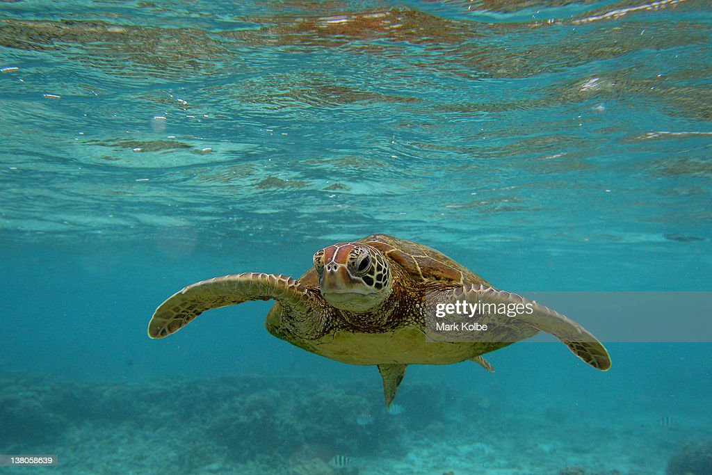 Hawksbill sea turtle is seen swimming on January 15, 2012 in Lady Elliot Island, Australia. Lady Elliot Island is one of the three island resorts in the Great Barrier Reef Marine Park (GBRMPA) with the highest designated classification of Marine National Park Zone by GBRMPA. The island of approximately 40 hectares lies 46 nautical miles north-east of the Queensland town of Bundaberg and is the southern-most coral cay of the Great Barrier Reef.