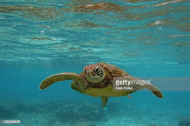 Hawksbill sea turtle is seen swimming on January 15 2012 in Lady Elliot Island Australia Lady Elliot Island is one of the three island resorts in the...