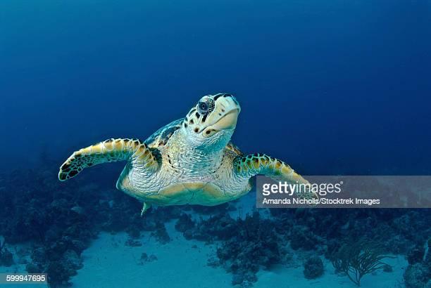 Hawksbill sea turtle, Nassau, The Bahamas.
