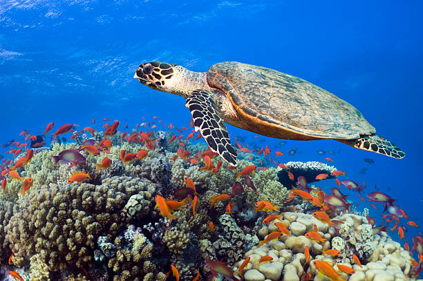 Hawksbill Sea Turtle Wall Art