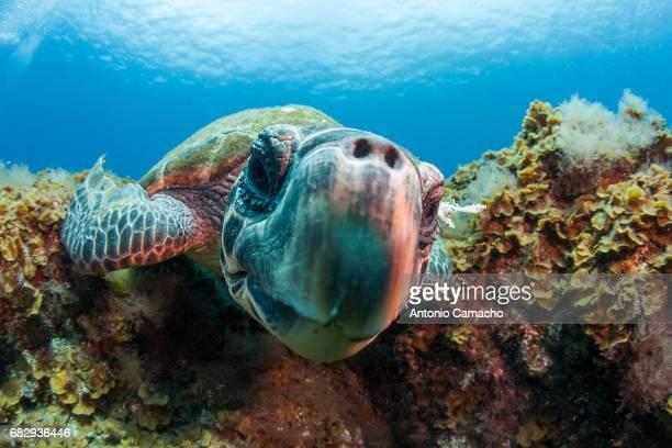 hawksbill sea turtle - vertebras fotografías e imágenes de stock