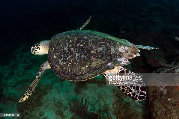 Hawksbill Sea Turtle.