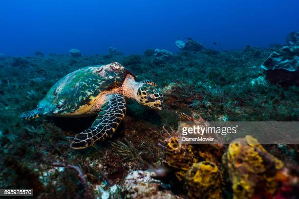 hawksbill sea turtle - hawksbill turtle stock pictures, royalty-free photos & images