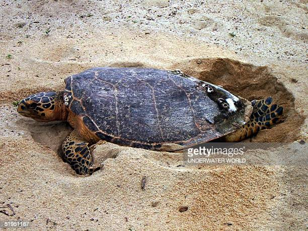 Hawksbill sea turtle seen laying eggs at a beach in Sentosa Island off Singapore 20 August 2001 Recently a cluster of eggs found in Jurong Island off...