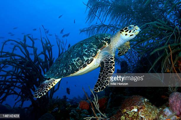 Hawksbill sea turtle swimming on a coral reef Curacao Netherlands Antilles