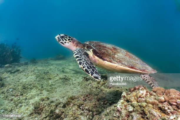 hawksbill sea turtle swimming on underwater coral reef - threatened species stock pictures, royalty-free photos & images