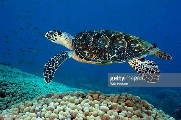 Hawksbill sea turtle swimming over a coral reef Curacao Netherlands Antilles