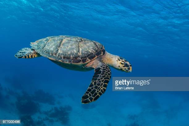 hawksbill sea turtle (eretmochelys imbricata) swimming underwater, hammerhead cay, bahamas - hawksbill turtle stock pictures, royalty-free photos & images