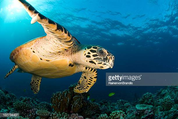 hawksbill shows its flipper claw - hawksbill turtle stock pictures, royalty-free photos & images