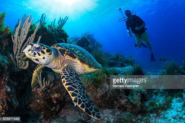 hawksbill turtle and a diver