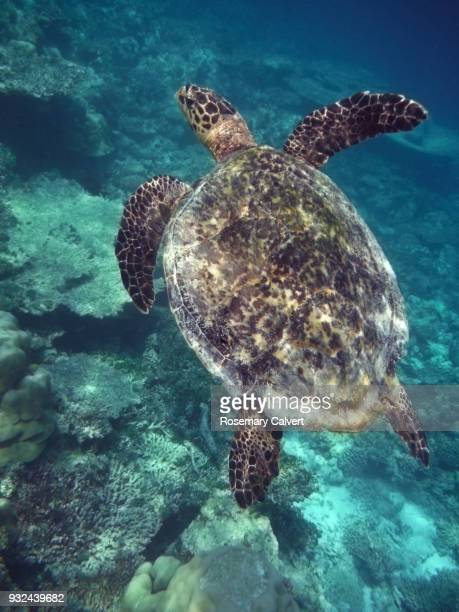 hawksbill turtle and coral reef, maldives. - hawksbill turtle stock pictures, royalty-free photos & images