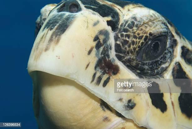 Hawksbill Turtle (Eretmochelys imbriocota) detail of head, Little Cayman Island, Cayman Islands, Caribbean