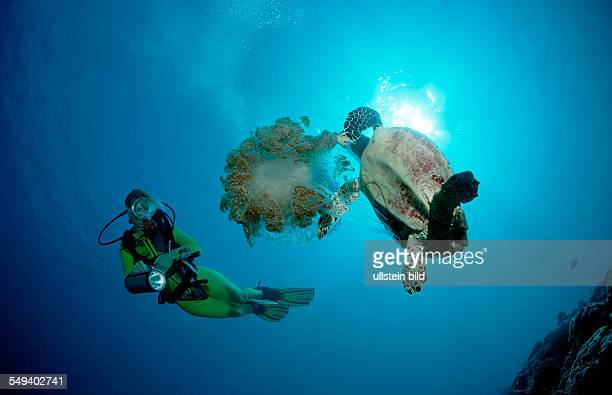 Hawksbill turtle eating jellyfish, Eretmochelys imbricata, Maldives Island, Indian Ocean, Ari Atol, Maayafushi