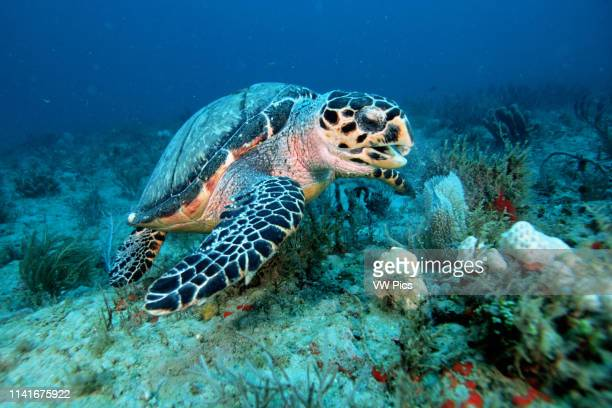 Hawksbill turtle Eretmochelys imbricata are endangered and are shown here using their narrow jaw to eat sponges and tunicates from crevices in the...