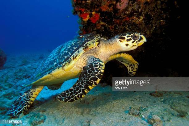 Hawksbill turtle Eretmochelys imbricata Florida Atlantic Ocean