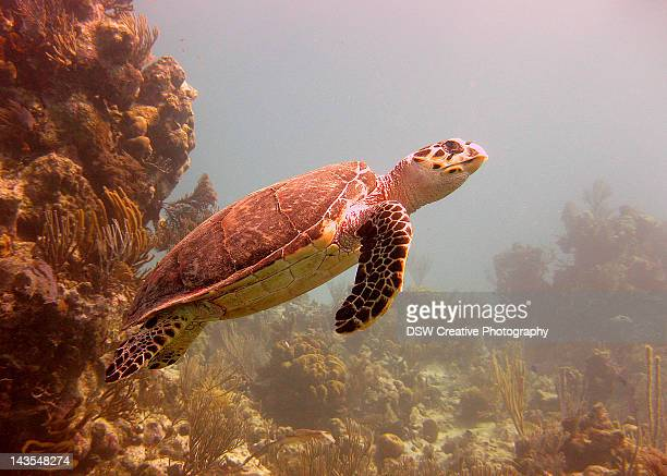 hawksbill turtle - eretmochelys imbricata - hawksbill turtle stock pictures, royalty-free photos & images