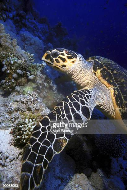 hawksbill turtle eretmotchelis imbricata feeding on reef woodhouse reef tiran, red sea - the webster stock pictures, royalty-free photos & images