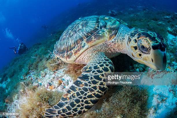 Hawksbill turtle (Eretmochelys imbricata) feeding on reef, Cozumel, Quintana Roo, Mexico